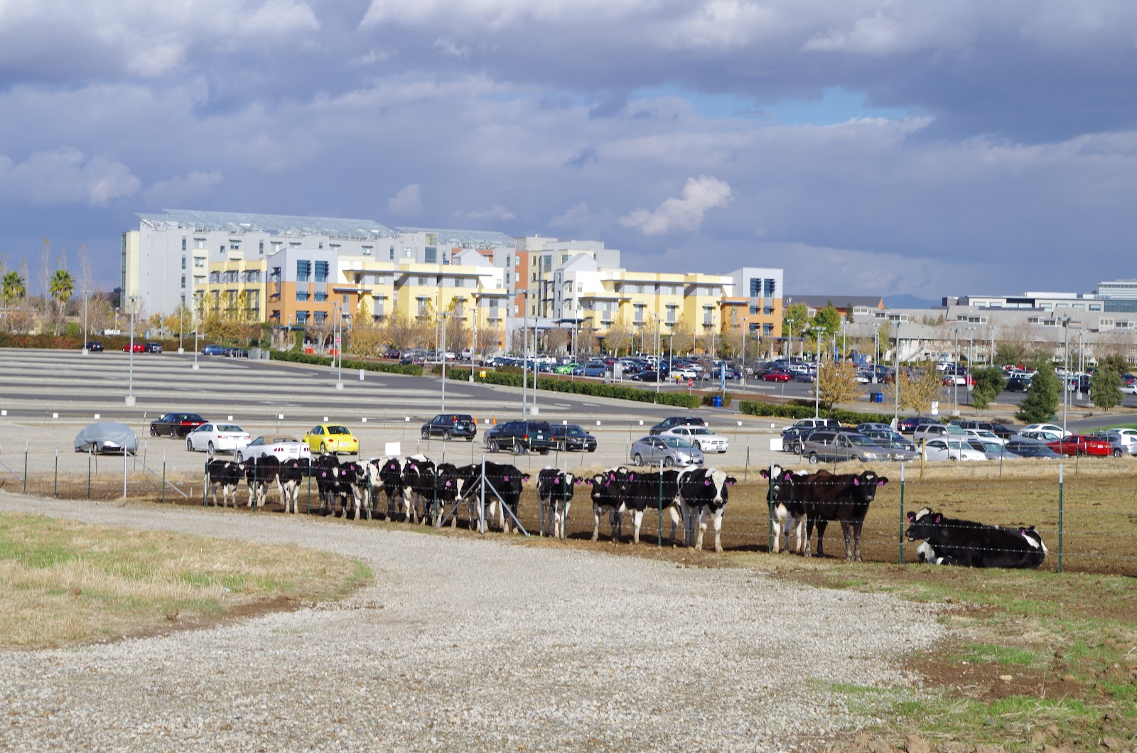 Cows_at_UC_Merced